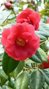 Camellia at Westbonbirt Arboretum